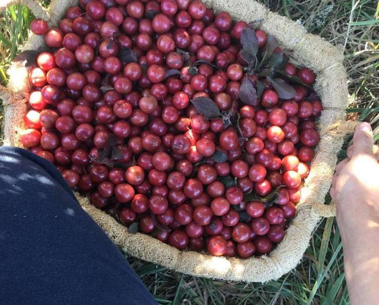 Foraging cherry plums