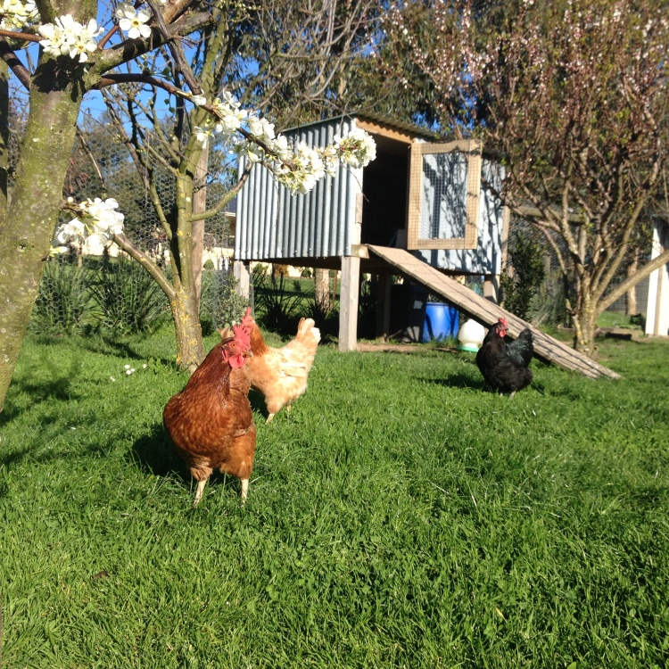 Chickens forgaing through the grass in fron of their coop made from recycled materials.