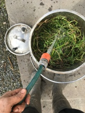 Making weed tea - filling bucket of weeds with water