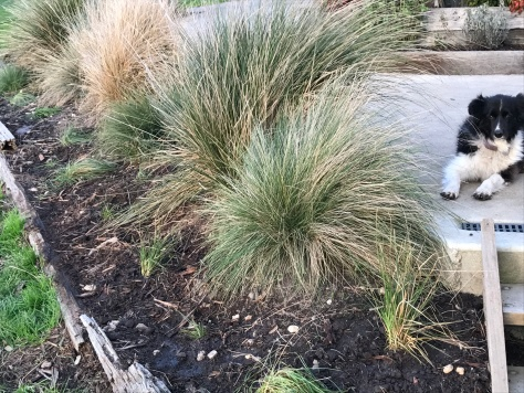 I also recently filled out a bed of native grasses by digging around the bases of the larger plants to get the smaller ones, which I replanted in the bare spaces.