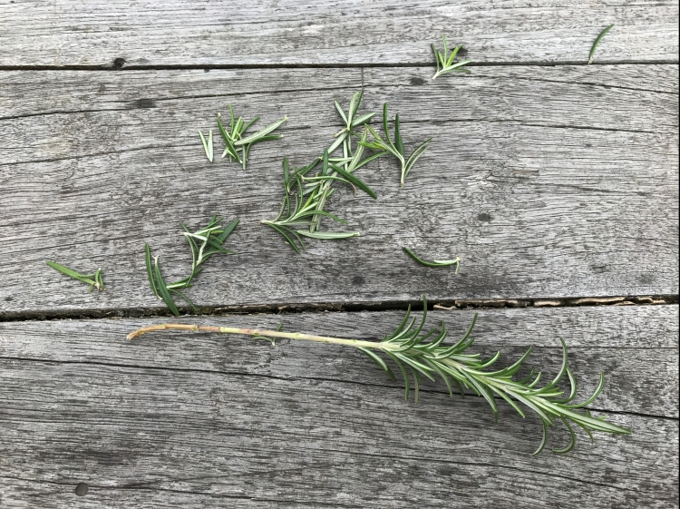 Rosemary bush cutting
